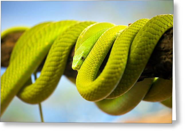 Green Mamba Coiled Up On A Branch Greeting Card by Artur Bogacki