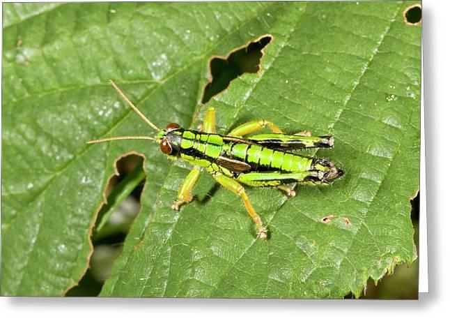 Green Mountain Grasshopper Greeting Card by Bob Gibbons