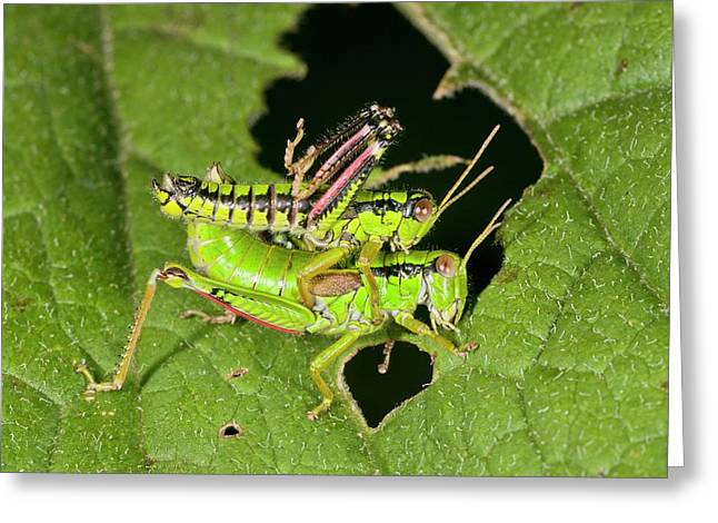 Green Mountain Grasshoppers Mating Greeting Card by Bob Gibbons