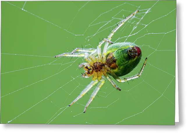 Green Orb Weaver Spider Greeting Card