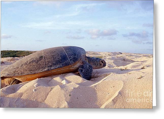 Green Sea Turtle Nesting Greeting Card by Bill Bachmann