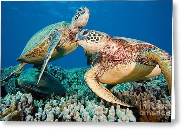 Green Sea Turtles Greeting Card by David Fleetham