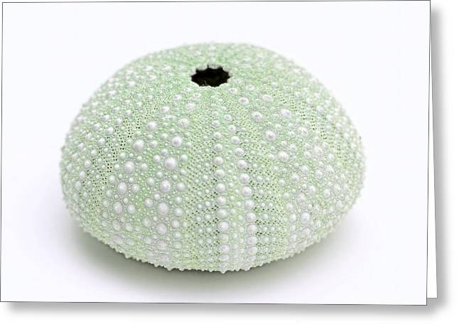 Green Sea Urchin White Greeting Card by Jennie Marie Schell
