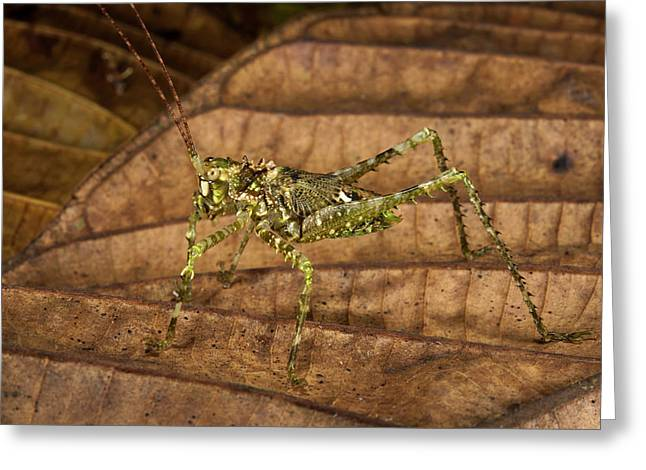 Green Spiny Katydid (tettigoniidae Greeting Card