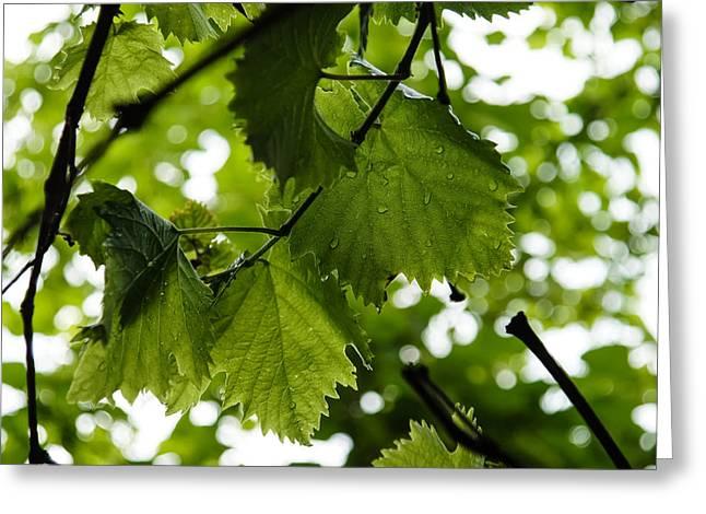 Green Summer Rain With Grape Leaves Greeting Card by Georgia Mizuleva