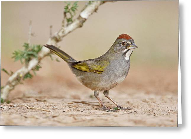 Green-tailed Towhee (pipilo Chlorurus Greeting Card