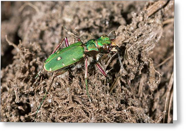 Green Tiger Beetle In Heathland Greeting Card by Bob Gibbons