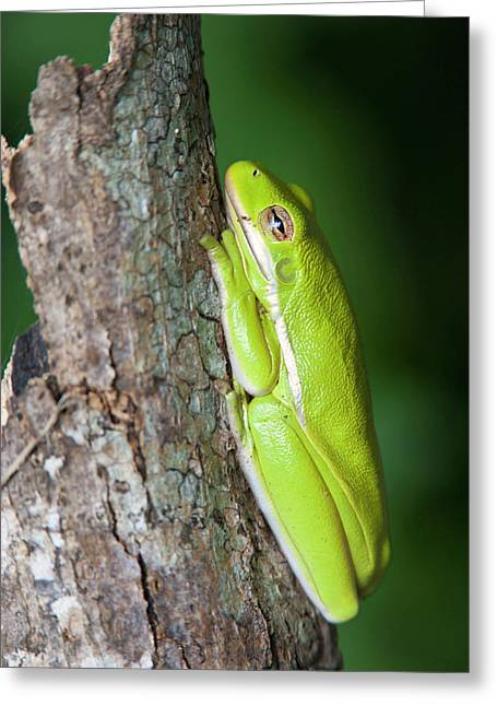 Green Tree Frog (hyla Cinerea Greeting Card by Larry Ditto