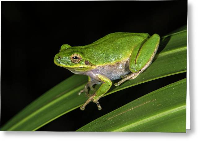 Green Tree Frog (hyla Cinerea Greeting Card by Pete Oxford