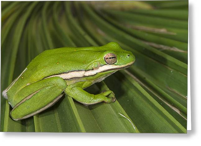 Green Tree Frog Little St Simons Island Greeting Card by Pete Oxford