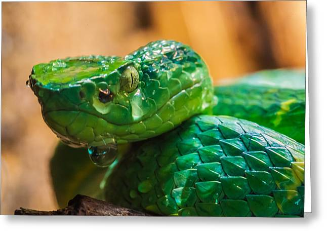 Green Tree Pit Viper Greeting Card by Craig Lapsley