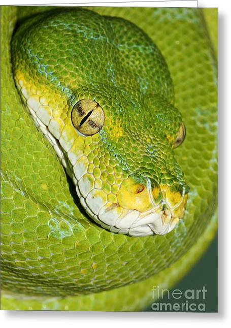 Greeting Card featuring the photograph Green Tree Python #2 by Judy Whitton