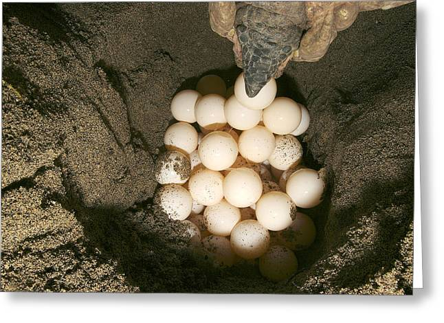 Green Turtle Laying Eggs Greeting Card by M. Watson