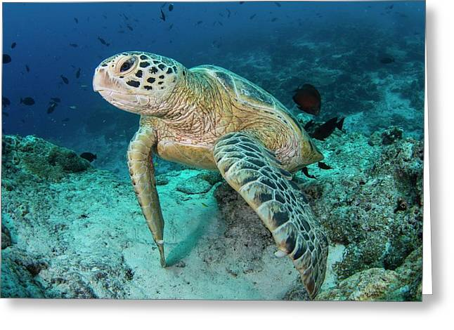 Green Turtle Resting On Reef Greeting Card by Scubazoo