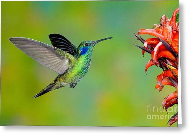 Green Violet-ear Hummingbird Greeting Card by Anthony Mercieca