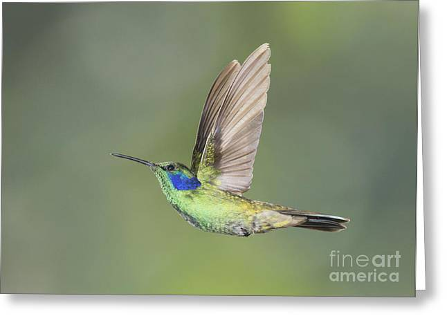Green Violet-ear Hummingbird Greeting Card by Dan Suzio