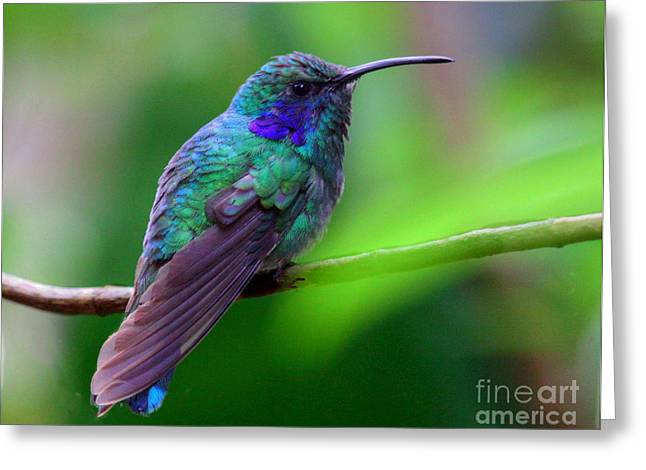 Green Violet Ear Hummingbird Greeting Card by Myrna Bradshaw