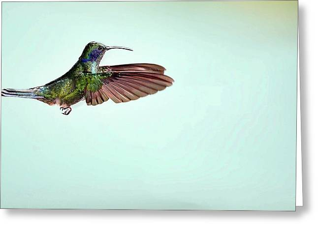 Green Violetear Hummingbird In Flight Greeting Card
