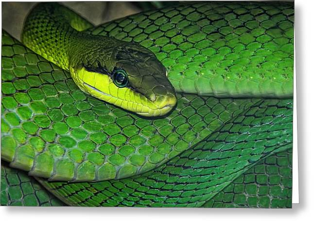 Green Viper Greeting Card by Joachim G Pinkawa