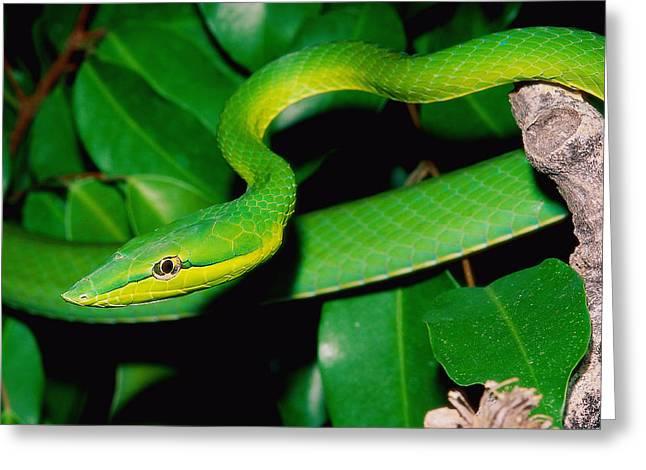 Green Whip Snake Greeting Card