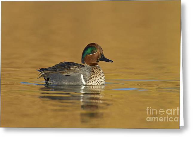 Green Wing Teal Greeting Card