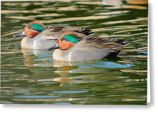 Green-wing Teal  Greeting Card by James Lewis