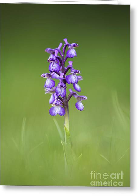 Green Winged Orchid Greeting Card