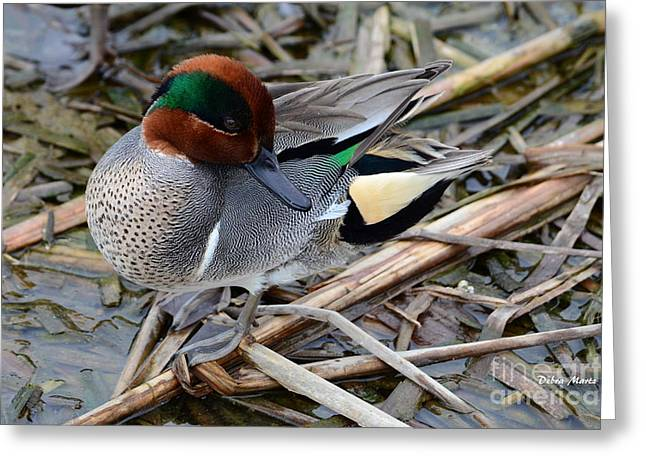 Greeting Card featuring the photograph Green-winged Teal by Debra Martz