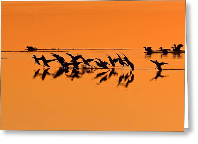 Green-winged Teal Ducks At Sunset Greeting Card