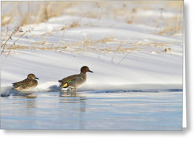 Green Winged Teal On Ice Greeting Card by Tim Grams