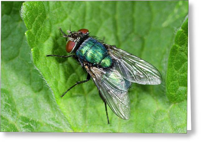Greenbottle Greeting Card