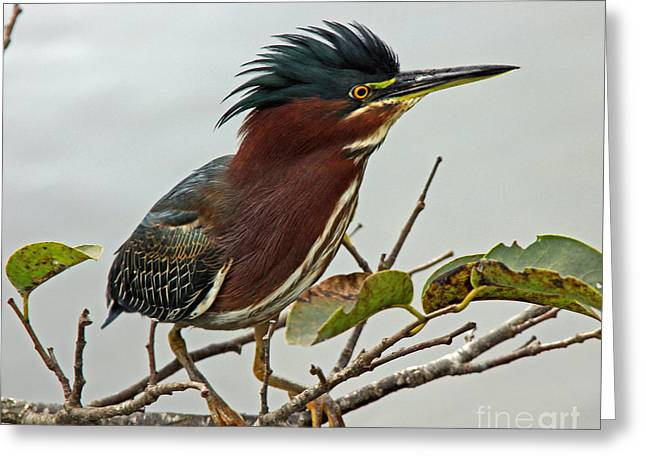 Audubon's Green Heron Greeting Card