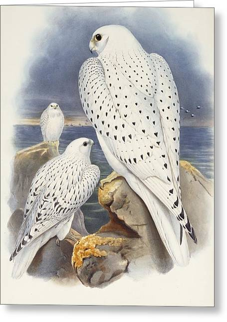 Greenland Falcon Greeting Card by John Gould