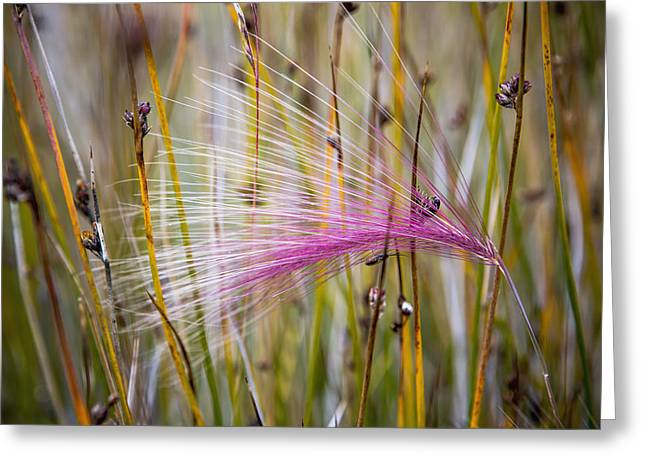 Greenland, Grass Seed Heads Greeting Card by Toby Adamson