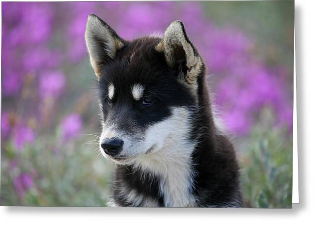 Greenland, Sisimiut, Young Husky Dog Greeting Card by Aliscia Young