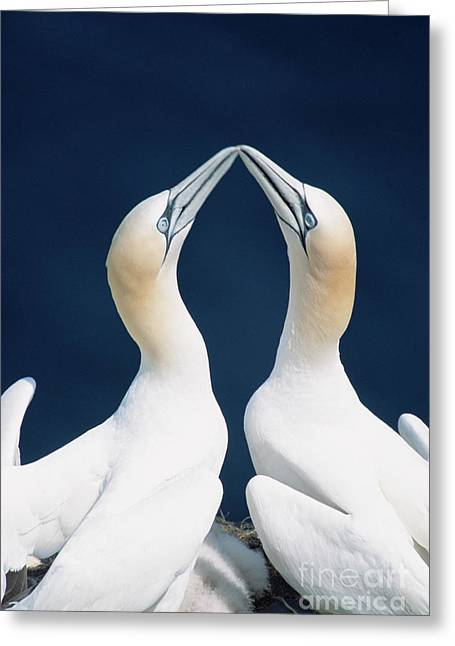 Greeting Northern Gannets Canada Greeting Card by