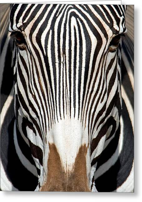 Greveys Zebra, Samburu National Greeting Card