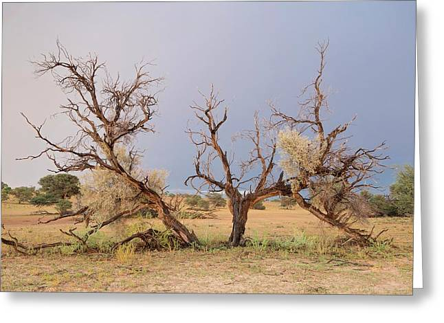 Grey Camelthorn Tree In The Auob Riverbed Greeting Card by Tony Camacho