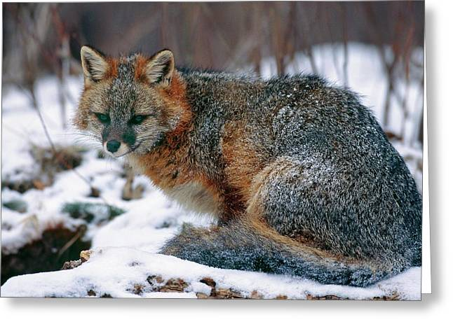 Grey Fox Greeting Card by William Ervin/science Photo Library