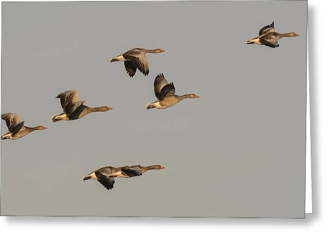 Grey Geese Greeting Card by Michael Mogensen