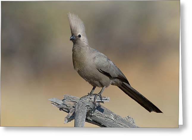 Grey Go-away-bird Corythaixoides Greeting Card