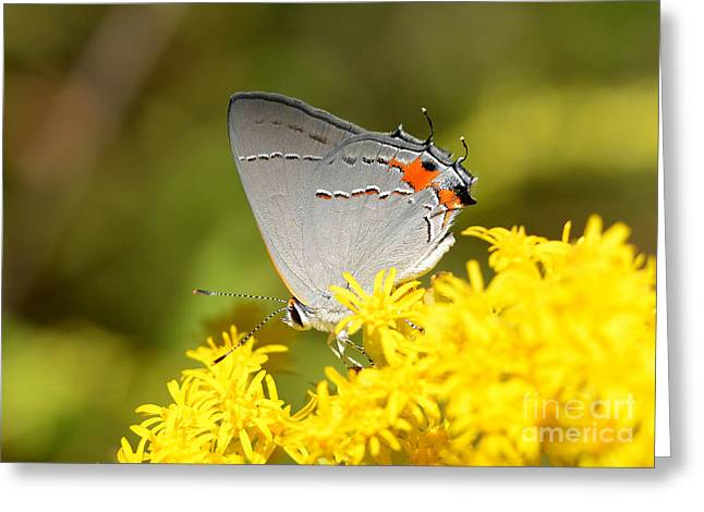 Grey Hairstreak Butterfly Greeting Card by Kathy Baccari