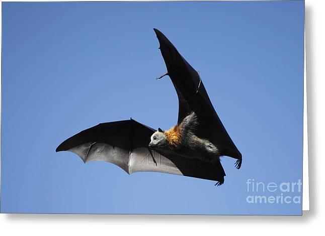 Grey Headed Flying Fox Greeting Card by Craig Dingle
