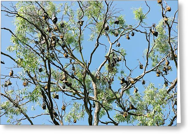Grey-headed Flying Foxes Greeting Card