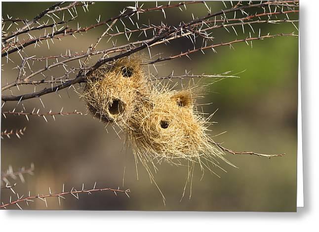 Grey-headed Social-weaver Nests Tanzania Greeting Card by Konrad Wothe