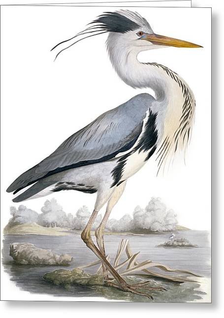 Grey Heron, 19th Century Greeting Card by Science Photo Library