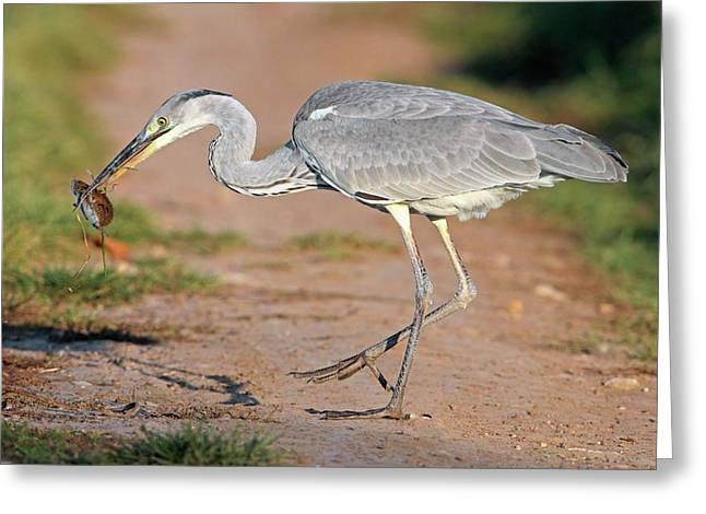 Grey Heron And Prey Greeting Card