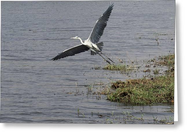 Grey Heron Ardea Cinerea Flying Greeting Card