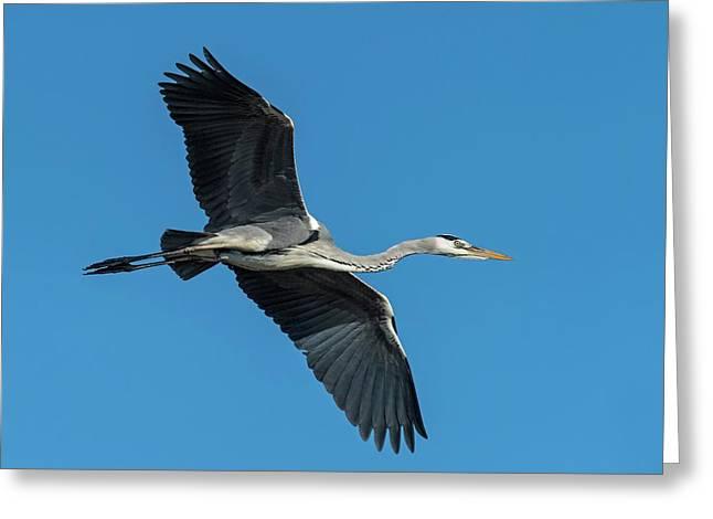 Grey Heron In Flight Greeting Card