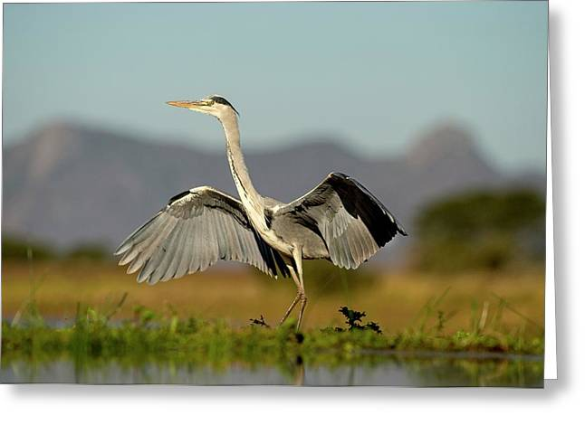 Grey Heron Landing Greeting Card